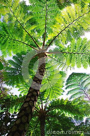 Flying spider monkey tree fern