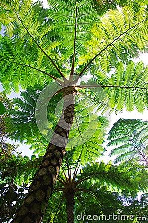Flying spider monkey tree fern