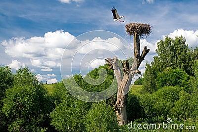 Flying stork over nest