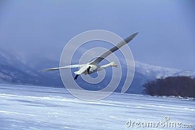 Flying Swan