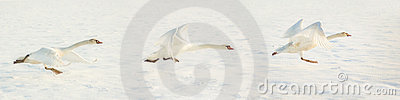 Flying Swan sequence