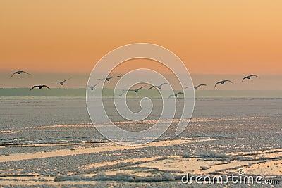 Flying swans in winter