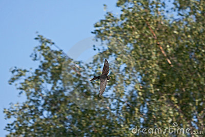 Flying swift against the trees