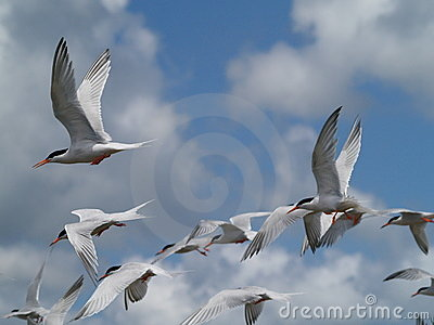 Flying Terns