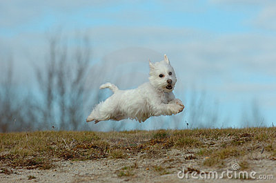 Flying terrier