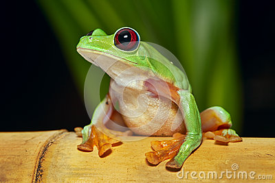 Flying tree frog Agalychnis spurrelli