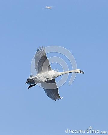 Flying Trumpeter Swan