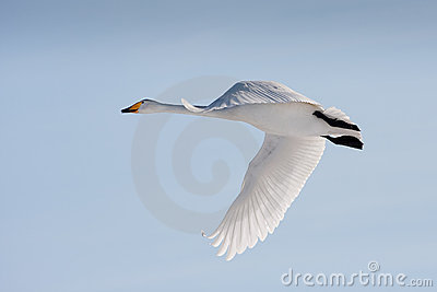 Flying whooper swan