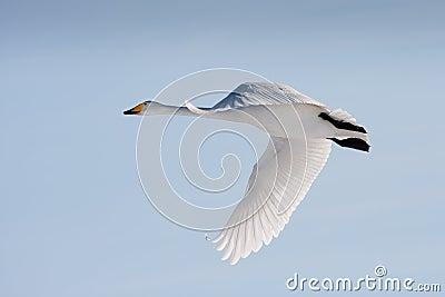 Flying whooper swan