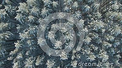 Flytschakt med övre luftutfällning Shot av Winter Spruce och Pine Forest Rime is och hoar frost som täcker träd Fantastisk vinter arkivfilmer