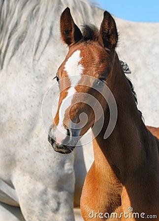 Foal κόλπων πορτρέτο