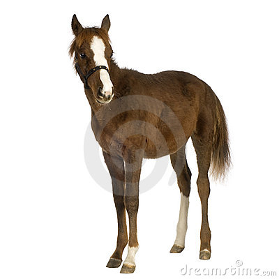 Foal (4 months)
