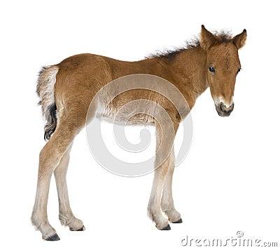 Foal (4 weeks old)