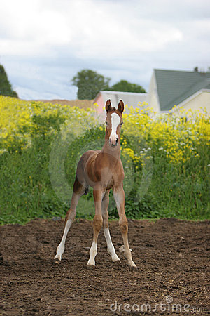 χαριτωμένο foal πεδίων