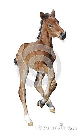 Foal appena nato isolato su bianco