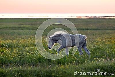 Foal on coastal meadow