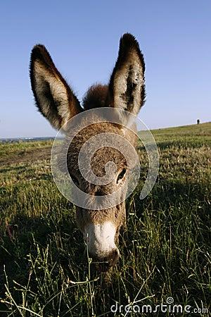 Foal donkey (Equus africanus f. asius)