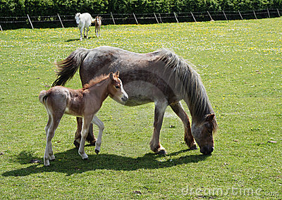 Foal in field with its mother