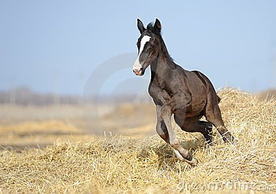 Foal galloping across the field