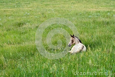 Foal In Green Pasture