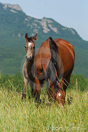 Foal and mare on the pasture
