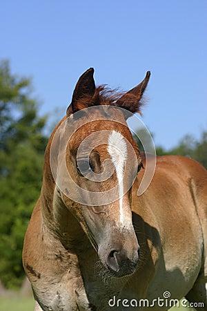 Foal Portrait