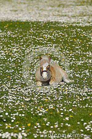 Foal is resting on meadow