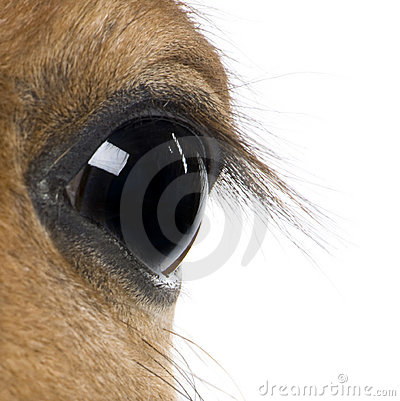 Foal s eye, in front of white background