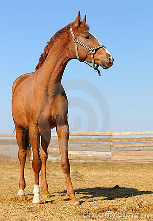 Foal sorrel