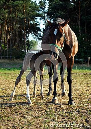 Foal suckling her mother
