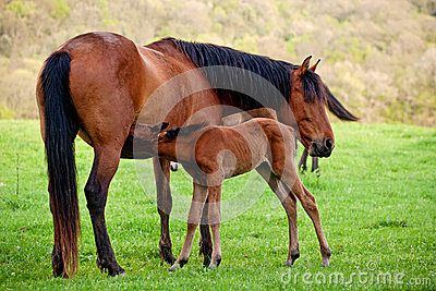Foal sucks mare