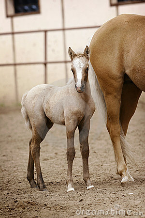 Foal of welsh pony