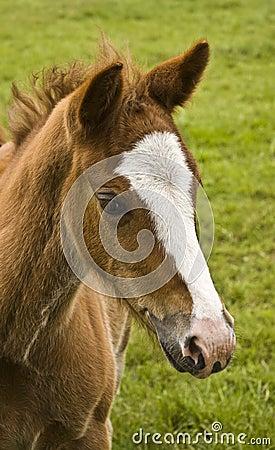 Foals head