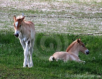 Foals in the pasture