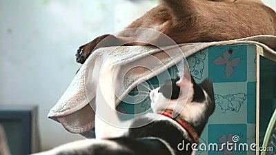 Focus kitten Katze spielen Hit und Bit to tail siamese Katze stock footage