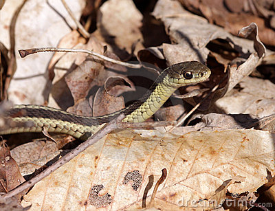 Focused Garter Snake