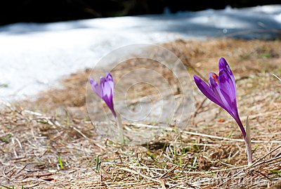 Focused Spring Crocus