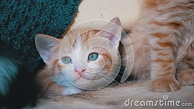 Foffy Cute Red Kitten Mente e olha à volta filme