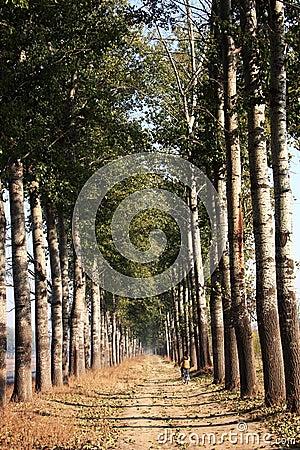 Fog vesture poplar trees
