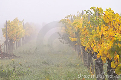 Fog in wineyards