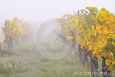 Fog in wineyards