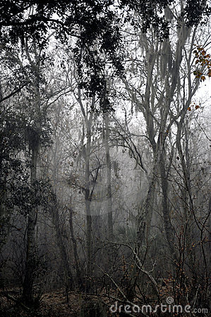 Free Foggy Forest Trees Stock Images - 12799004
