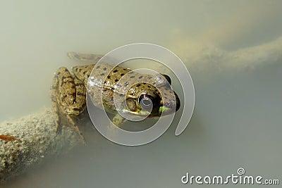 Foggy Frog