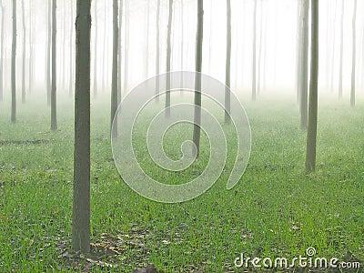 Foggy misty poplar farms and estates India