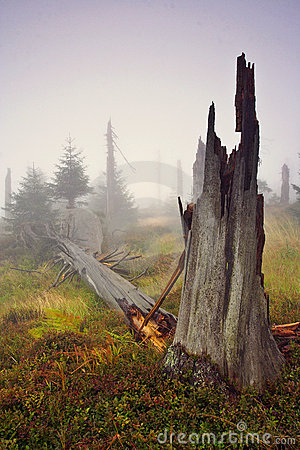 Foggy morning in dead forest