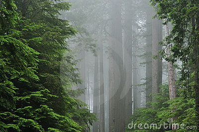 Foggy Redwood Forest