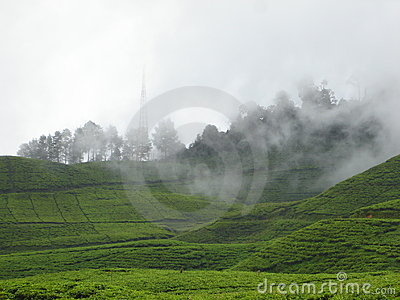 Foggy tea garden