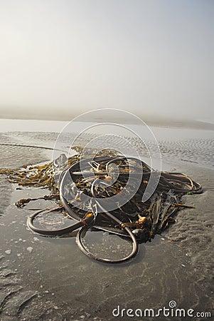 Foggy West Coast Beach & Kelp