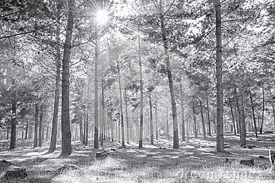 Foggy woods in black and white