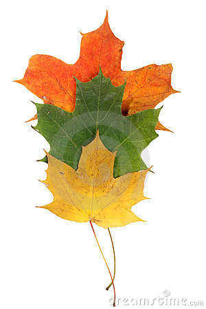 Fogli di autunno dell acero